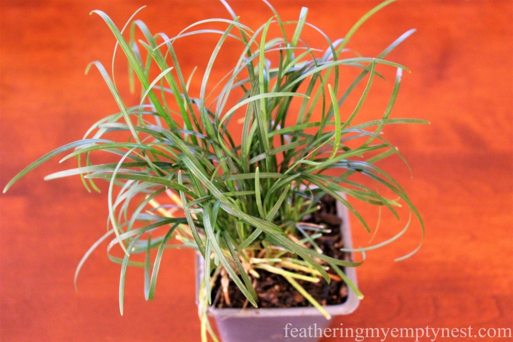 Use Mondo Grass instead of Wheatgrass for a quick and easy Spring centerpiece --How To Make A Live Grass Centerpiece For Your Spring Table