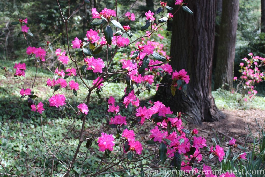 Azalea --A Spring Tour Of The Biltmore Estate Gardens
