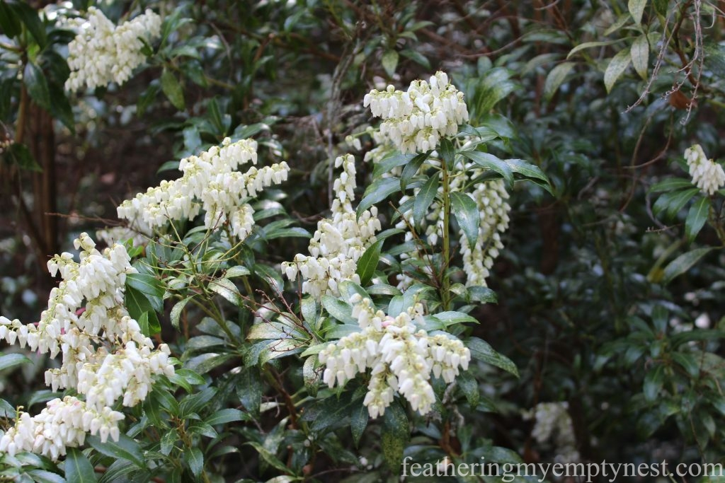 Pieris Japonica --A Spring Tour Of The Biltmore Estate Gardens