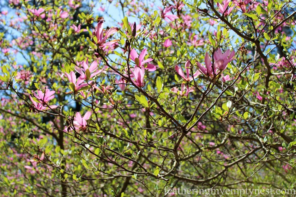 Tulip Magnolia in the Spring Garden --A Spring Tour Of The Biltmore Estate Gardens