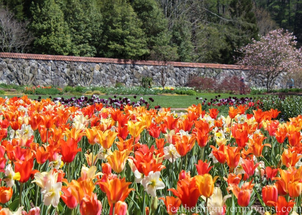 Incredible tulip display inside the Walled Garden at the magnificent Biltmore Estate in Asheville, North Carolina --Arranging Tulips With Flower Arranging Tools & Tulipieres