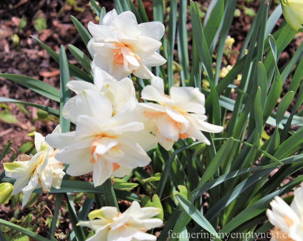 Pink and white double daffodils -A Spring Tour Of The Biltmore Estate Gardens