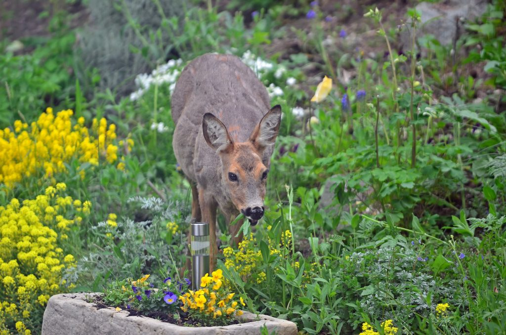 Hungry deer feasting on flowers in the garden --Arranging Tulips With Flower Arranging Tools & Tulipieres