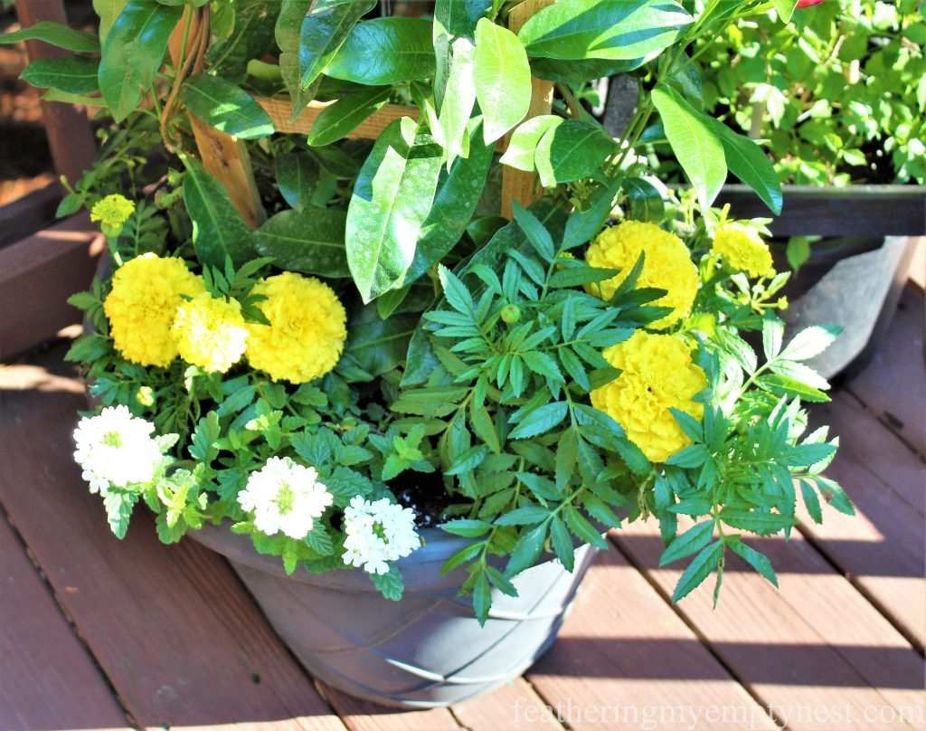 Yellow and white flowers planted below a trellis of Mandevilla are in keeping with the overall color scheme --Summer Flower Planters On The Deck-
