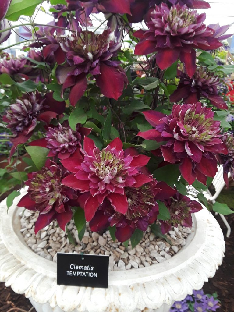 Clematis Temptation, 2018 Chelsea Flower Show --Why The Chelsea Flower Show Should Be On Your Bucket List