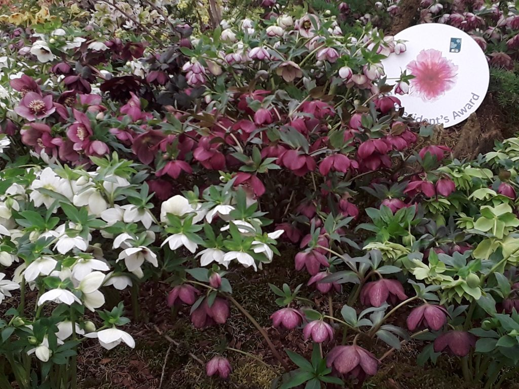 "Hellebores or ""Lenten Rose"" --Why The Chelsea Flower Show Should Be On Your Bucket List"