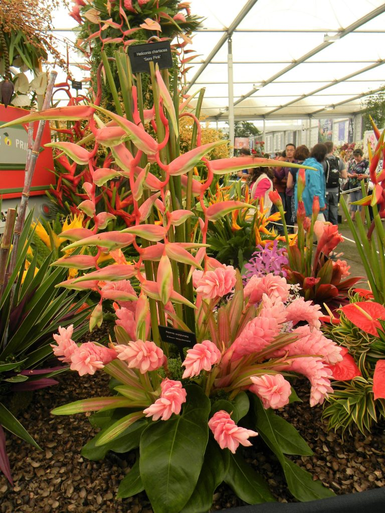 "alpinia Purpurata or Ginger ""Eileen MacDonald"" and Heliconia Chartacea ""Sexy Pink"" --Why The Chelsea Flower Show Should Be On Your Bucket List"