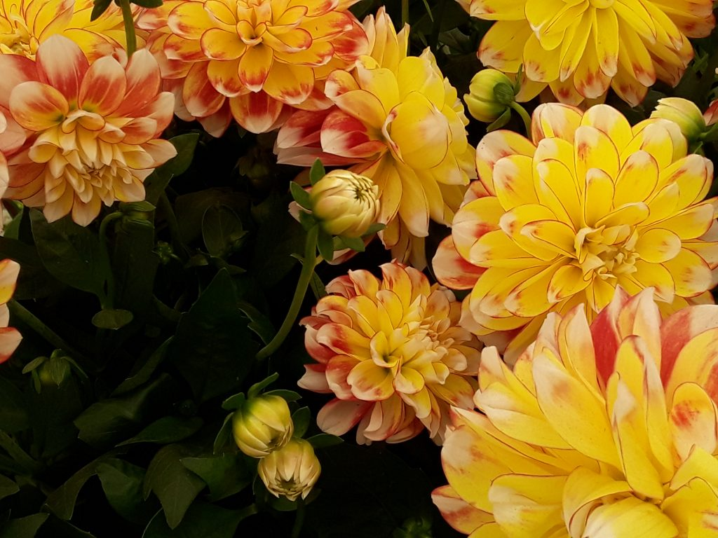 Lubega Power Tricolor Dahlias --Why The Chelsea Flower Show Should Be On Your Bucket List