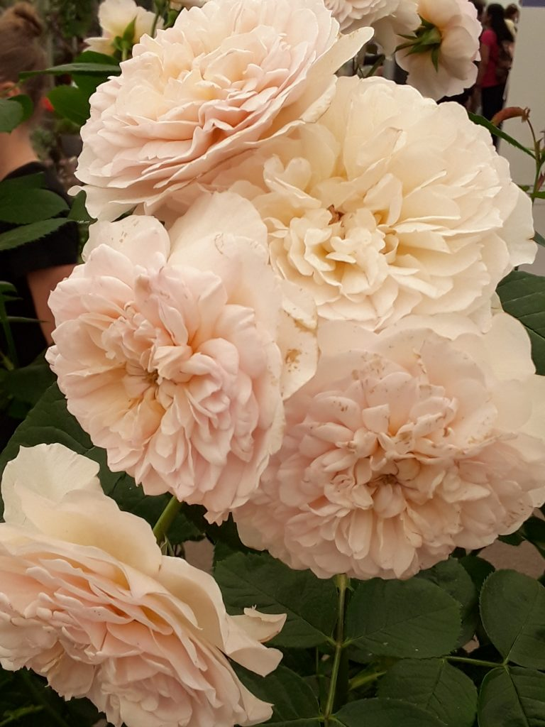 Emily Bronte Rose, 2018 Chelsea Flower Show --Why The Chelsea Flower Show Should Be On Your Bucket List