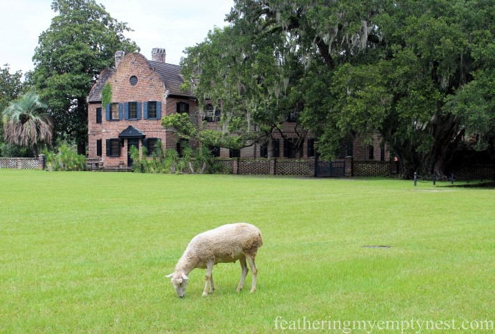 Sheep grazing on the lawn of Middleton Place --Exploring The Enchanting Gardens Of Middleton Place