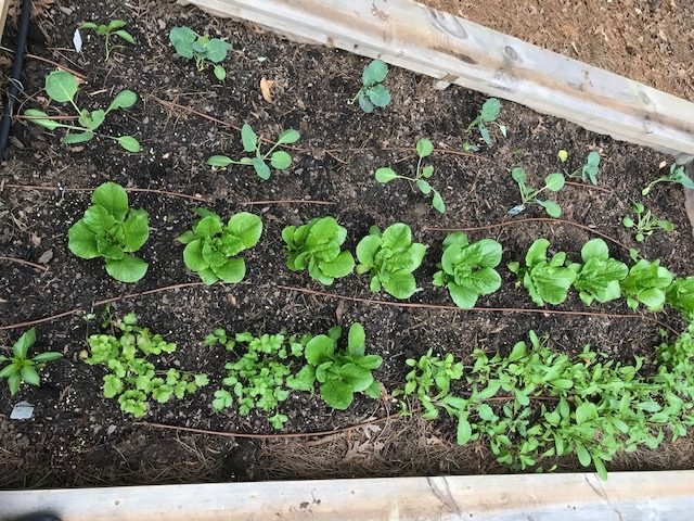 Lessons From A Novice Raised Bed Gardener-Raised bed garden fitted with its own drip system