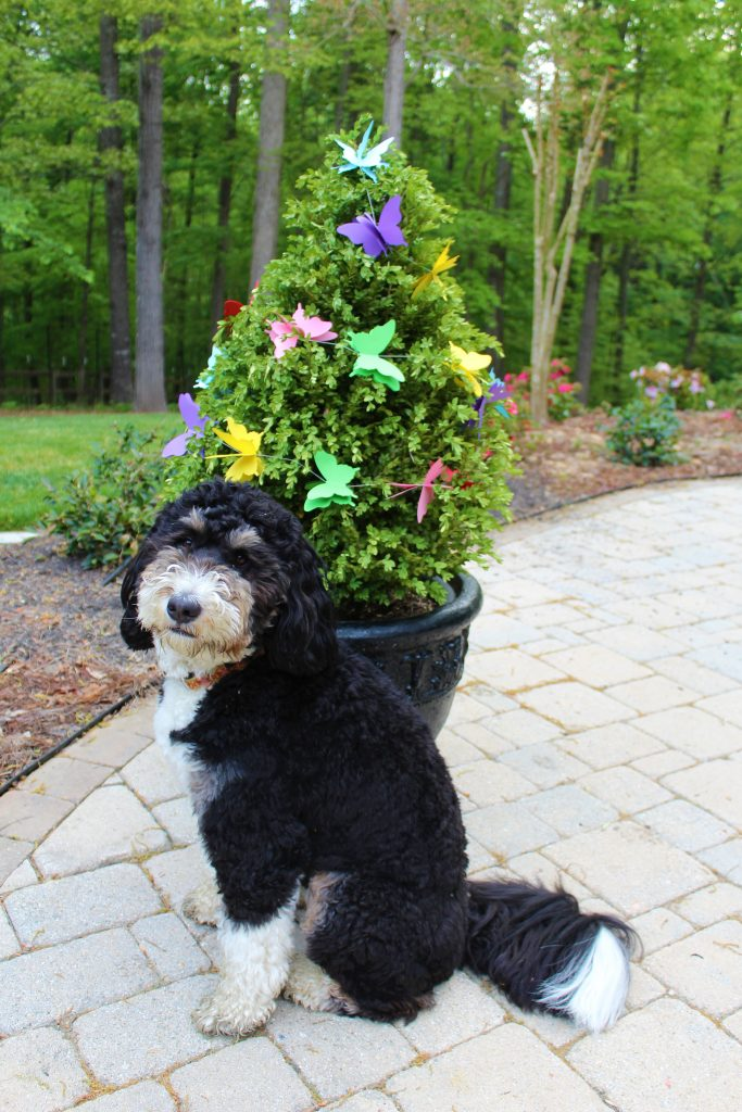 "Our Bernedoodle posing in front of a ""butterfly bush"" which was decorated as part of a Butterfly Mother's Day Tablescape."