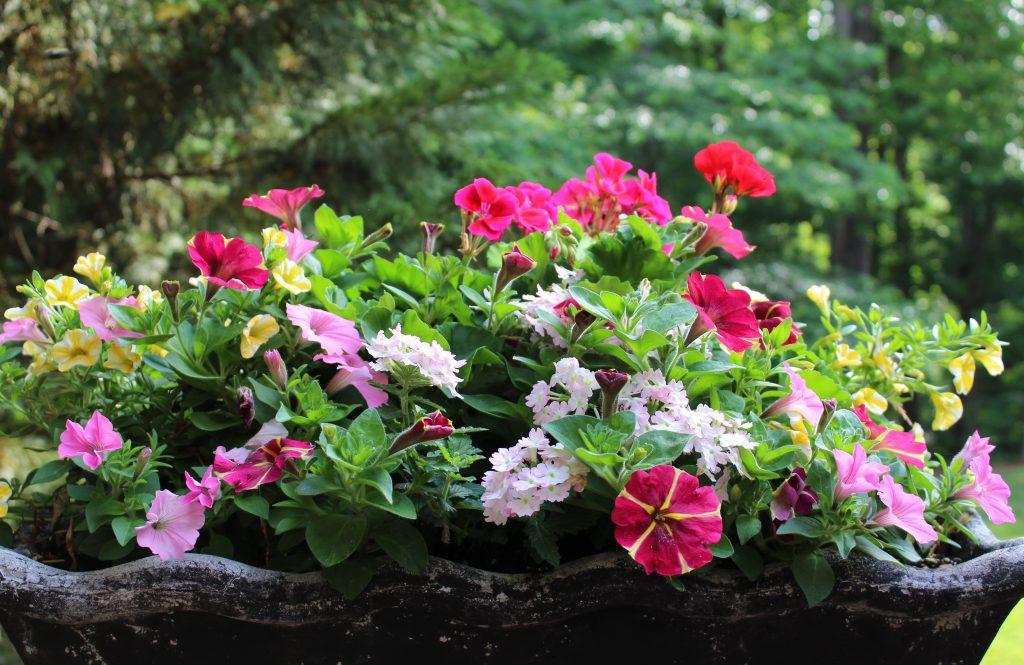 Geraniums, petunias, verbena, and million bells fill a cheerful summer  planter.