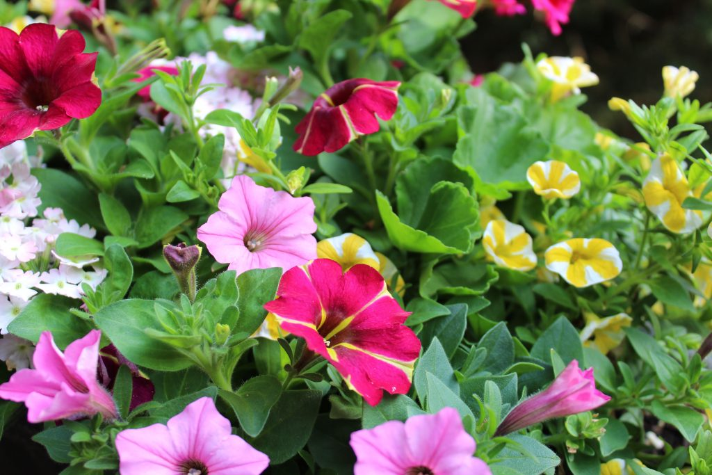 Pink Bubblegum Supertunias, Queen Of Hearts Petunias, Yellow Slice Super Bells, and White Blush Verbena look gorgeous together in summer planters.