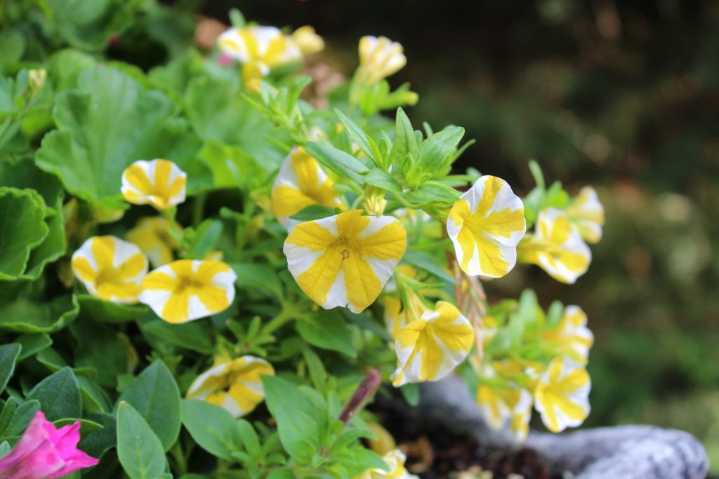 Lemon Slice Grand Superbells are a great trailing plant to add to summer planters.