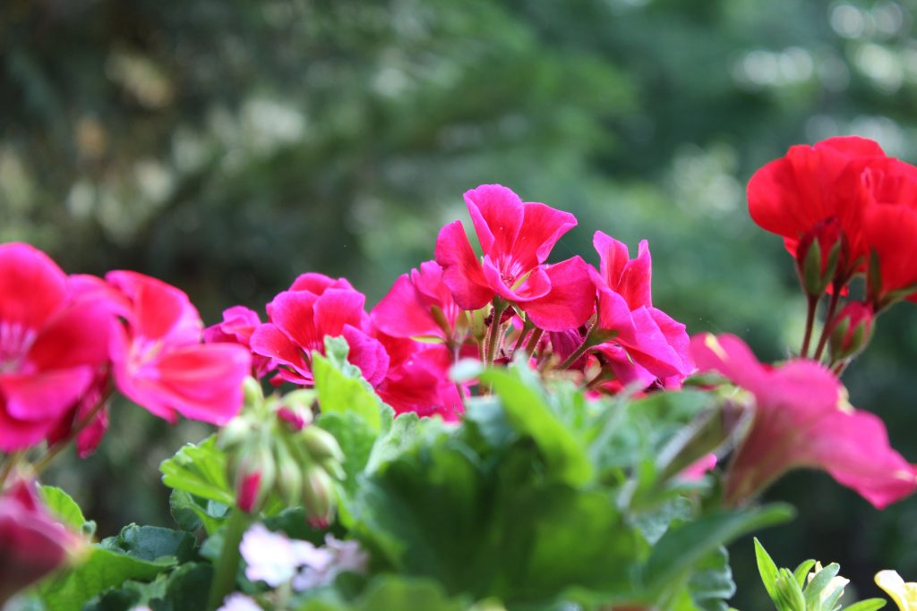 """Classic red and Calliope Crimson Flame Geraniums serve as the """"thrillers"""" in a lovely summer planter."""