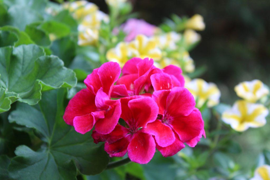 """Calliope Crimson Flame Geranium is the """"thriller"""" in this colorful summer planter."""