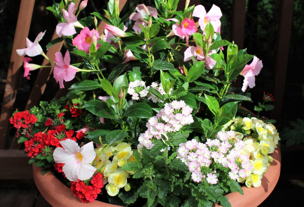 Two different Verbenas, Begonias, and Bacopa surround a beautiful pink dipladenia in this large summer planter.