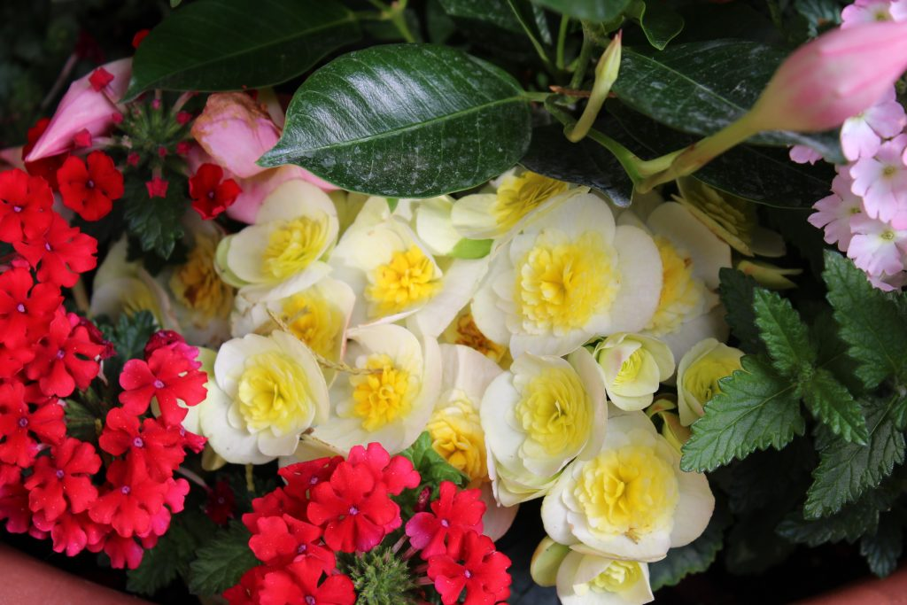 Low mounding Valentino White Rieger Begonias peek out from under a pink shrub-like Dipladenia in this large summer planter