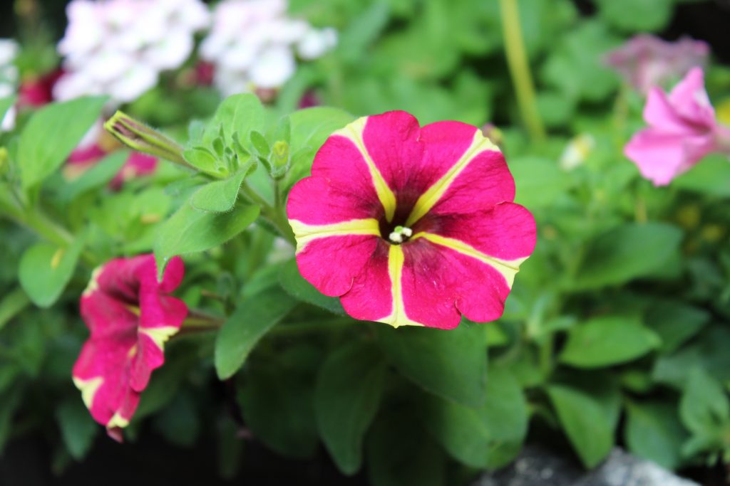 Queen Of Hearts Petunia is the star of colorful summer planters.