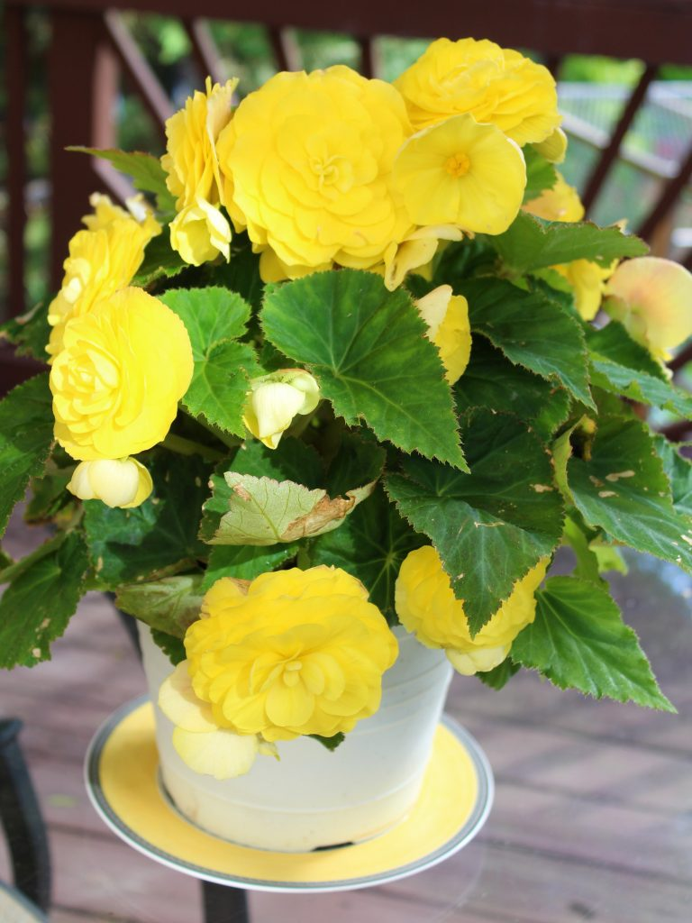 Nonstop Yellow Begonias brighten up an outdoor table surrounded by mixed summer planters.