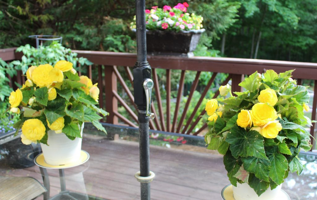 Nonstop Yellow Begonias make a gorgeous centerpiece on an outdoor dining table.