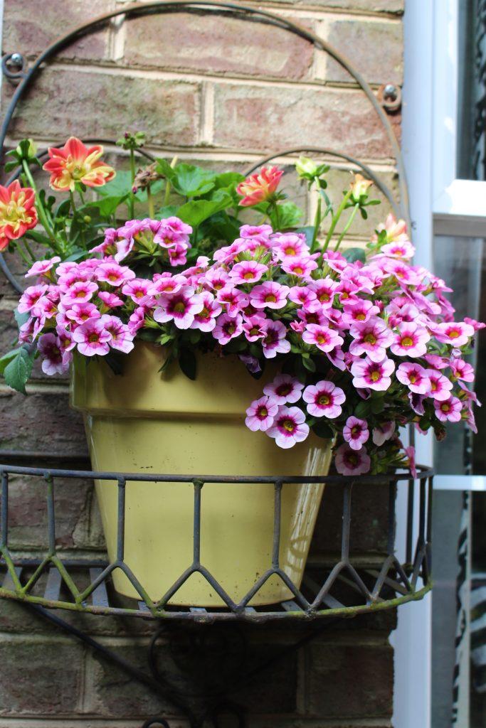 Shiny yellow pots planted with Aloha Kona Tiki Soft Pink Million Bells, Starsister Dahlias, and Red Geraniums.
