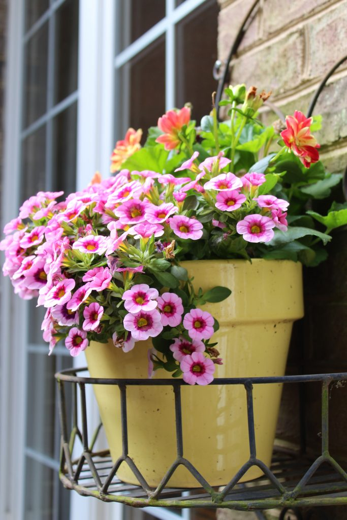 Medium Pink Million Bells with fuschia throats and yellow centers cascade over shiny yellow summer planters.