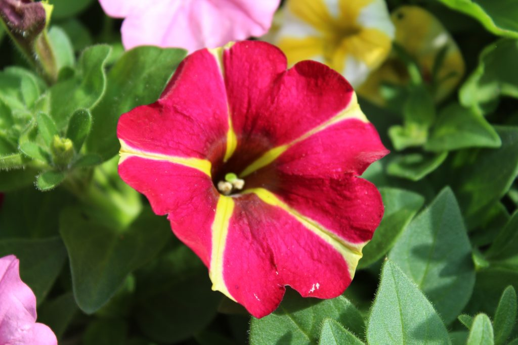 Queen Of Hearts Petunia is a standout flower in summer planters.